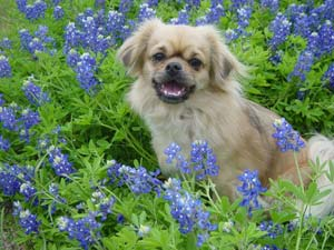 Chester in Bluebonnets