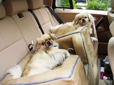 Tibbies buckled into their car seats